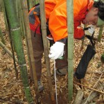Harvesting bamboo in Kumamoto