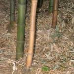 Nagano bamboo
