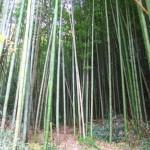Nagano bamboo grove